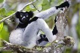 Indri lemur (Indri indri) sitting on a tree, Andasibe-Mantadia National Park, Madagascar