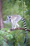 Ring-Tailed lemur (Lemur catta) climbing a tree, Berenty, Madagascar