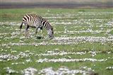 Burchell's zebra (Equus burchelli) grazing in a field, Ngorongoro Crater, Ngorongoro, Tanzania
