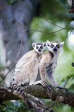 Ring-Tailed lemur (Lemur catta) with its young one, Berenty, Madagascar