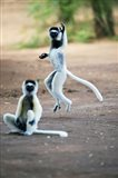Pair of Verreaux's sifaka in a field, Berenty, Madagascar