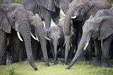 African elephants (Loxodonta africana) drinking water in a pond, Tarangire National Park, Tanzania