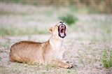 Lioness Yawning in a Forest, Tarangire National Park, Tanzania
