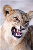 Close-up of a lioness (Panthera leo) looking angry, Tarangire National Park, Tanzania