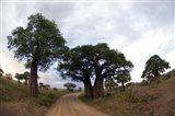 Baobab Trees (Adansonia digitata) in a forest, Tarangire National Park, Tanzania