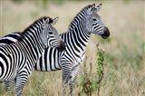 Two Burchell's zebras (Equus burchelli) in a forest, Tarangire National Park, Tanzania