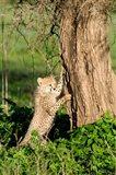 Cheetah Cub Against a Tree, Ndutu, Ngorongoro, Tanzania
