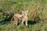 Cheetah cub (Acinonyx jubatus) yawning in a forest, Ndutu, Ngorongoro, Tanzania