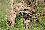 Cheetah Cubs Climbing a Tree, Ndutu, Ngorongoro, Tanzania