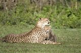 Cheetah cub (Acinonyx jubatus) playing with its mother, Ndutu, Ngorongoro, Tanzania