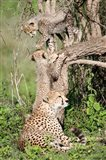 Cheetah cubs (Acinonyx jubatus) with their mother in a forest, Ndutu, Ngorongoro, Tanzania