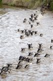 Wildebeests crossing a river, Mara River, Masai Mara National Reserve, Kenya