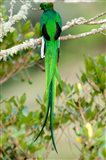 Close-up of a Resplendent Quetzal (Pharomachrus mocinno) perching on a branch, Savegre, Costa Rica