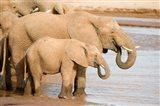 African elephants (Loxodonta africana) drinking water, Samburu National Park, Rift Valley Province, Kenya