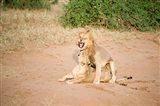 Lion pair (Panthera leo) mating in a field, Samburu National Park, Rift Valley Province, Kenya