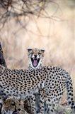 Cheetahs (Acinonyx jubatus) resting in a forest, Samburu National Park, Rift Valley Province, Kenya