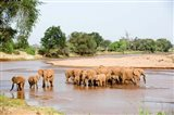 Herd of African Elephants, Uaso Nyiro River, Kenya