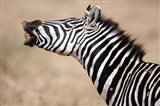 Close-up of a Burchell's zebra (Equus burchelli), Tarangire National Park, Tanzania