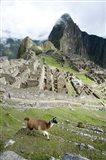 High angle view of Llama (Lama glama) with Incan ruins in the background, Machu Picchu, Peru