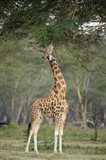 Rothschild giraffe (Giraffa camelopardalis rothschildi) feeding on tree leaves, Lake Nakuru National Park, Kenya