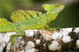 Close-up of a Plumed basilisk (Basiliscus plumifrons) on a branch, Cano Negro, Costa Rica