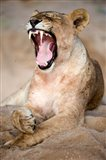 Close Up of Lioness (Panthera leo) Yawning in a Forest, Tarangire National Park, Tanzania