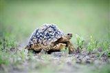 Leopard tortoise (Geochelone pardalis) moving slowly in a field, Tarangire National Park, Tanzania