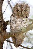 African Scops Owl (Otus senegalensis) Perching on a Branch, Tarangire National Park, Tanzania