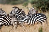 Burchell's zebras (Equus burchelli) in a forest, Tarangire National Park, Tanzania