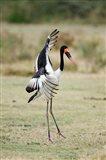 Saddle Billed stork (Ephippiorhynchus Senegalensis) spreading wings, Tarangire National Park, Tanzania