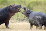 Two hippopotamuses (Hippopotamus amphibius) sparring in a forest, Ngorongoro Crater, Ngorongoro, Tanzania