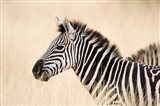 Burchell Zebra, Ngorongoro Crater, Ngorongoro, Tanzania