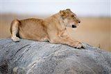 Close Up of a Lioness (Panthera leo) Sitting on a Rock, Serengeti, Tanzania