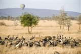 Spotted hyenas (crocuta crocuta) and vultures squabbling over dead Hippopotamus (Hippopotamus amphibius), Serengeti, Tanzania