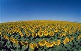 Sunflowers (Helianthus annuus) in a field