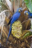 Hyacinth macaws eating palm nuts, Three Brothers River, Meeting of the Waters State Park, Pantanal Wetlands, Brazil