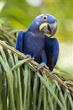 Close-up of a Hyacinth macaw, Three Brothers River, Meeting of the Waters State Park, Pantanal Wetlands, Brazil