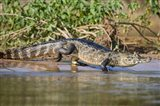 Yacare caiman at riverbank, Three Brothers River, Meeting of the Waters State Park, Pantanal Wetlands, Brazil