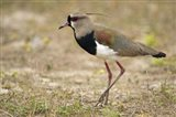 Close-up of a Southern lapwing, Three Brothers River, Meeting of the Waters State Park, Pantanal Wetlands, Brazil