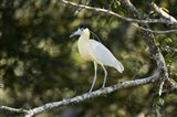Capped heron perching on a branch, Three Brothers River, Meeting of the Waters State Park, Pantanal Wetlands, Brazil