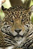 Close-up of a Jaguar (Panthera onca), Three Brothers River, Meeting of the Waters State Park, Pantanal Wetlands, Brazil