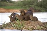 Capybara family on a rock, Three Brothers River, Meeting of the Waters State Park, Pantanal Wetlands, Brazil