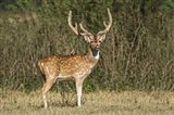 Spotted deer (Axis axis) in a forest, Keoladeo National Park, Rajasthan, India