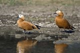 Close-up of two Ruddy shelduck (Tadorna ferruginea) in water, Keoladeo National Park, Rajasthan, India