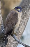 Crested Serpent eagle (Spilornis cheela) perching on tree, Kanha National Park, Madhya Pradesh, India