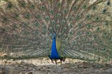 Peacock displaying its plumage, Bandhavgarh National Park, Umaria District, Madhya Pradesh, India