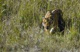 Bengal Tiger (Panthera tigris tigris) cub walking in a forest, Bandhavgarh National Park, Umaria District, Madhya Pradesh, India