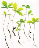 Saplings with Root on White Background