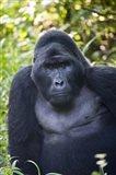 Mountain Gorilla, Bwindi Impenetrable National Park, Uganda