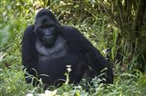 Mountain Gorilla Sitting in a forest, Bwindi Impenetrable National Park, Uganda